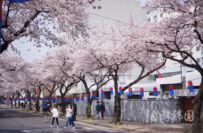 济州王樱花节3月31日至4月9日盛大开幕!